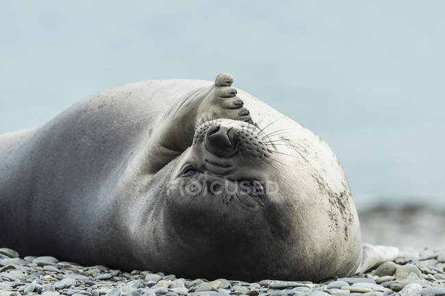 Weddell seal laying — Stock Photo