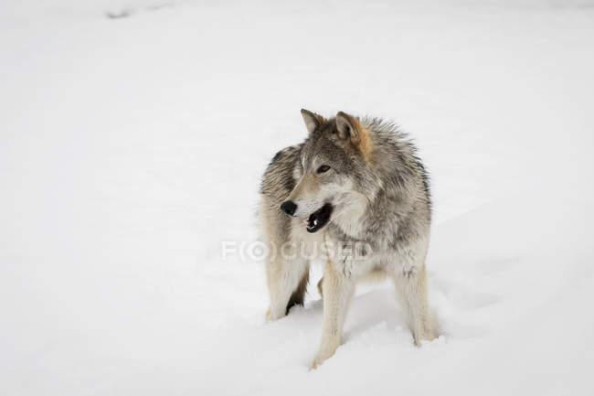 Женщины Тундровый волк — стоковое фото