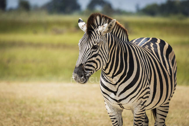 Nahaufnahme von Burchell-zebra — Stockfoto