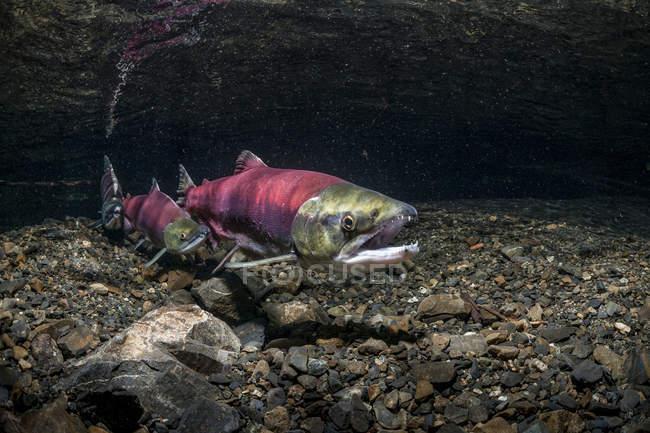 Saumon rouge placé au-dessus des nids — Photo de stock