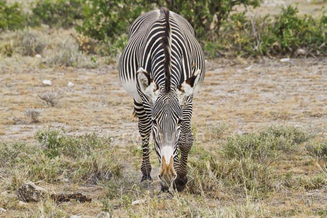 Grevy Зебра стоя на траве — стоковое фото