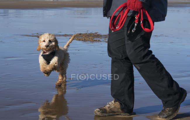 Малий собака біжить — стокове фото