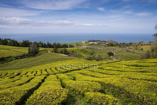 Gorreana Tea Plantation — Stock Photo