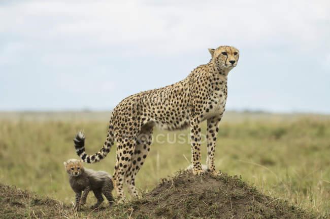 Guepardo e filhote ao ar livre — Fotografia de Stock