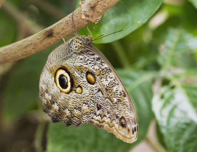 Синий морфо peleides или общих морфо-бабочка, Mindo, Пичинча, Эквадор — стоковое фото