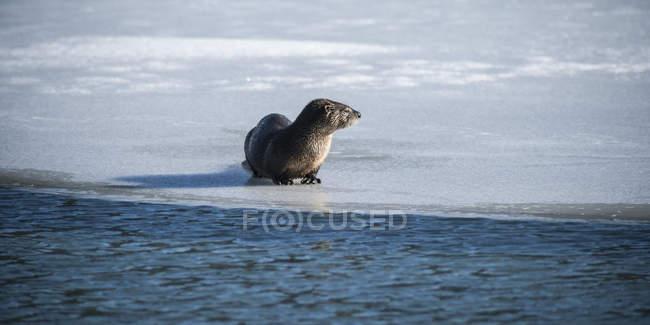 Lontra norte-americana — Fotografia de Stock