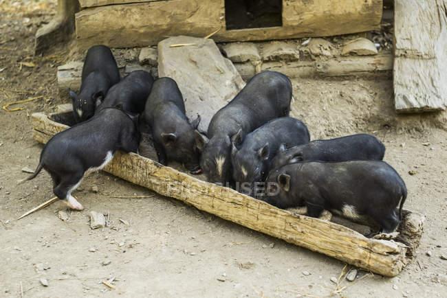 Abrevadero para cerdos - foto de stock