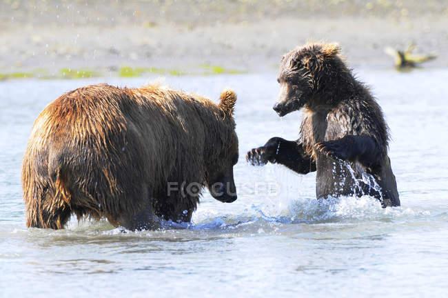 Бурий ведмідь сіяти — стокове фото