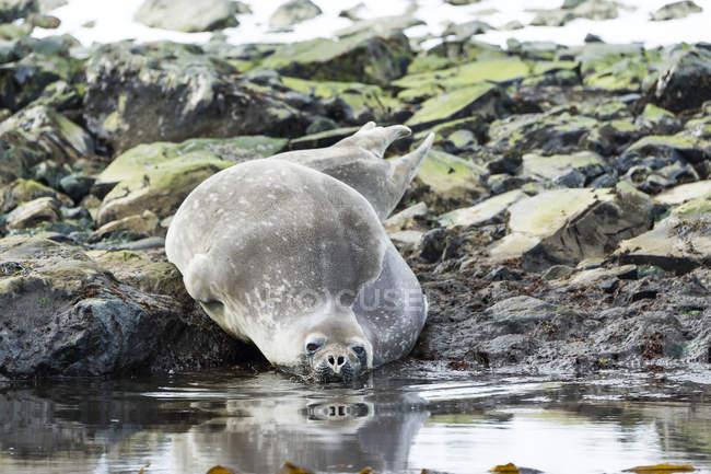 Ущільнення покладення скелястий берег в елегантній; Антарктида — стокове фото