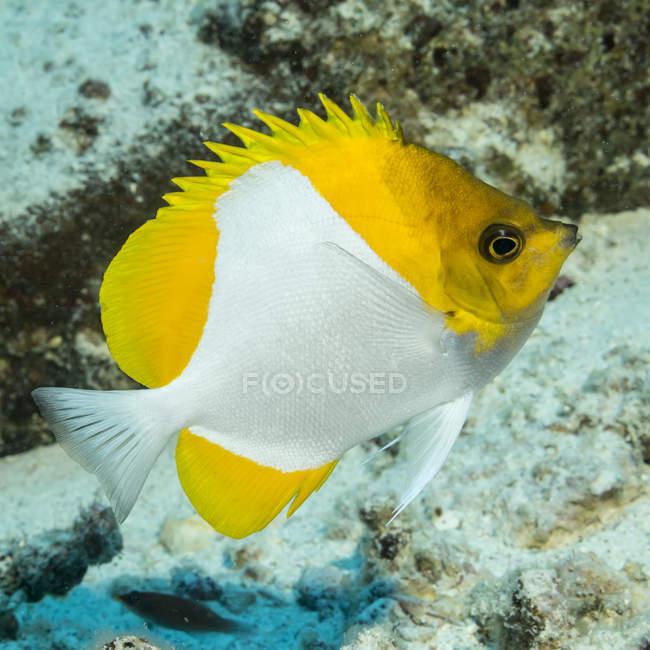 Vue rapprochée du papillon jaune nageant sous l'eau — Photo de stock