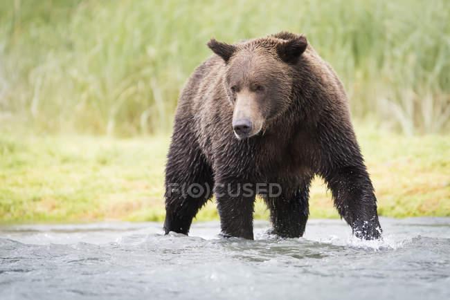 Аляскинський прибережних ведмідь — стокове фото