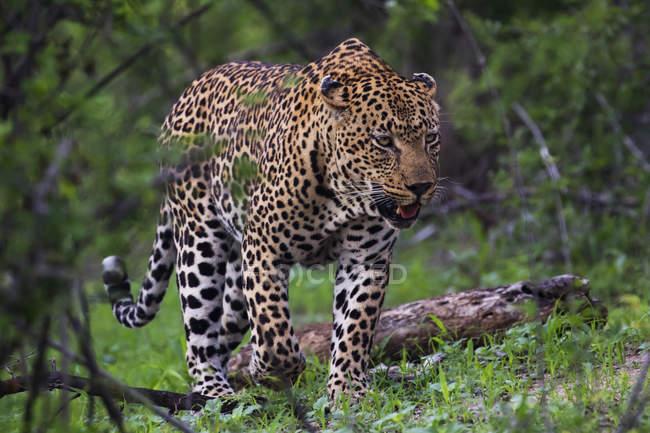 Ходьба Мужчины леопард — стоковое фото