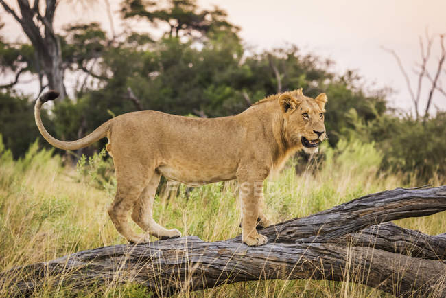 Lion se tenant debout sur une branche morte — Photo de stock
