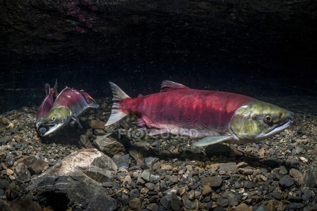 Saumon sockeye positionné sur son redd — Photo de stock