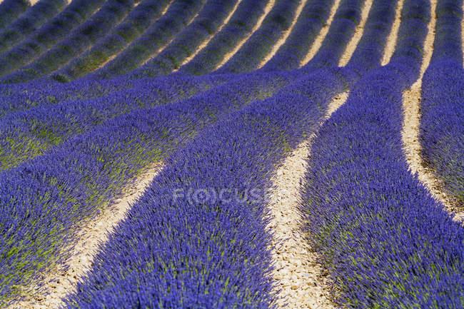 Лавандовое поле днем ; — стоковое фото