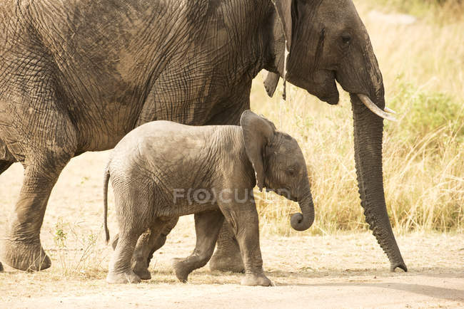 Молодой слоненка — стоковое фото