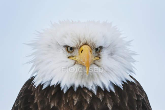 Águila calva envanecidos - foto de stock