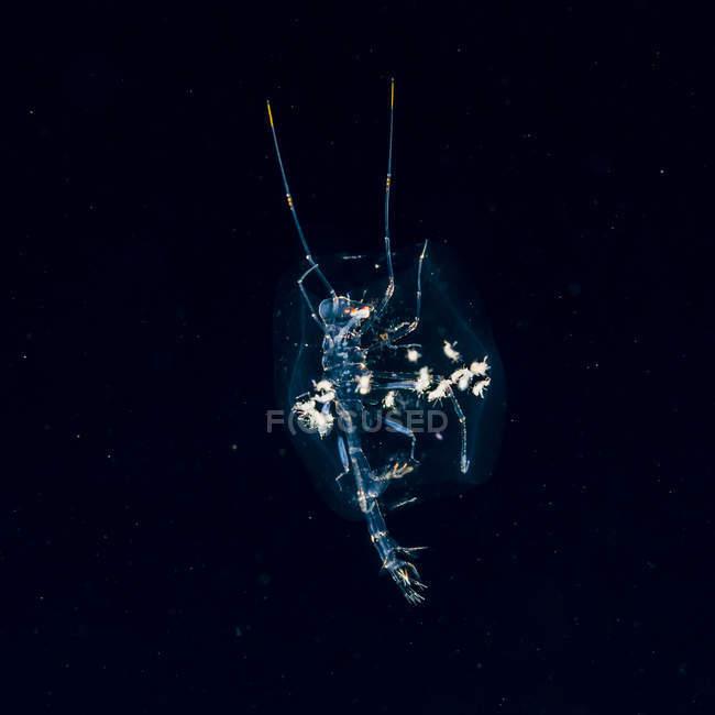Phronima amphipod — стоковое фото