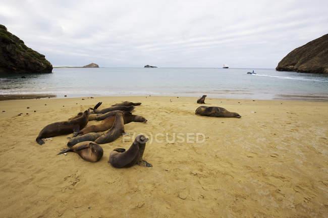 Sea lions on golden sand beach — Stock Photo