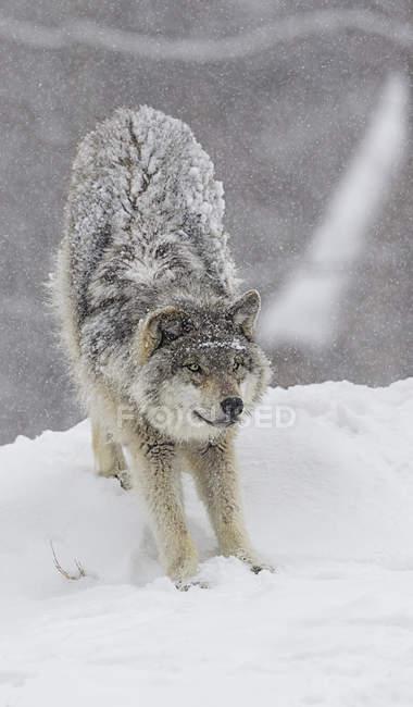 Loup gris qui s'étend — Photo de stock