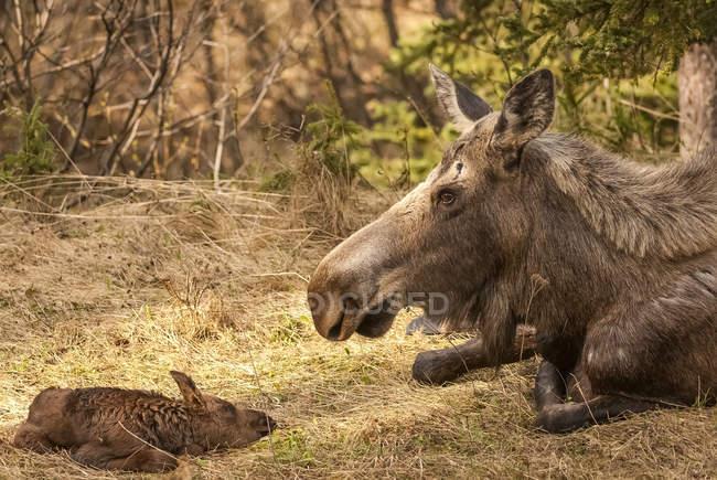 Корова лося з новонароджена Литка — стокове фото