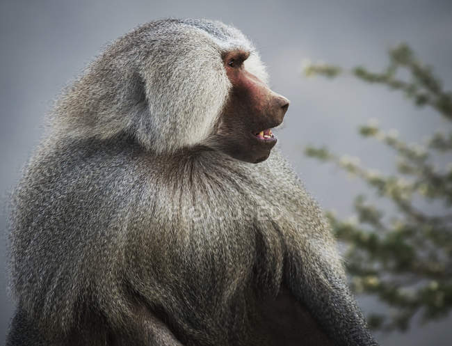Mountain Baboon looking away — Stock Photo