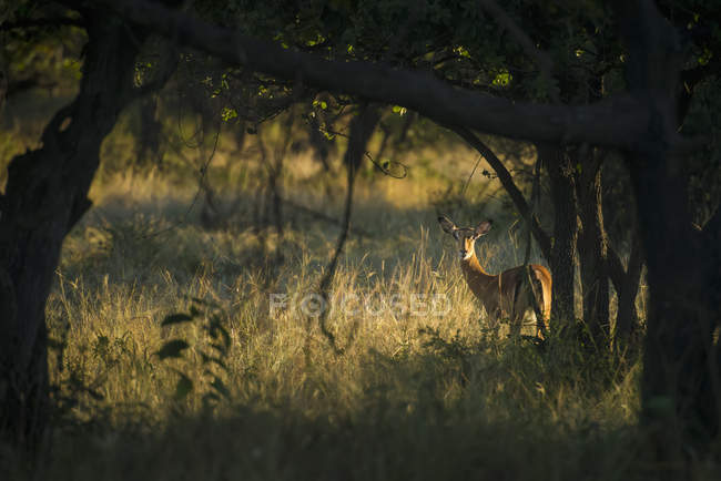 Wary impala looking bushes — Stock Photo