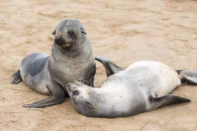 Due giovani foche di pelliccia divertenti — Foto stock