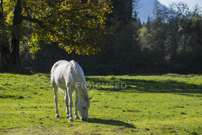 White horse munches grass — Stock Photo