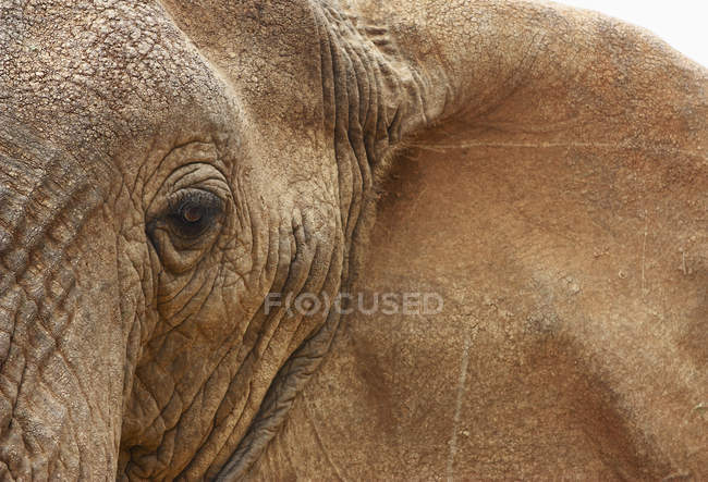 Closeup of African elephant — Stock Photo