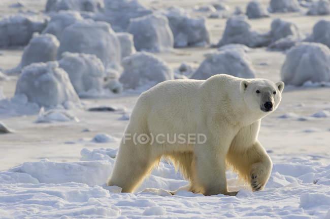 Полярний ведмідь, прогулянки вздовж затоки — стокове фото