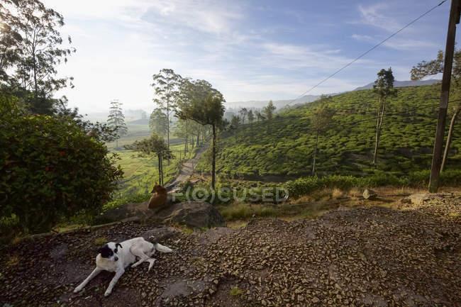 Perro en plantación de té en el paisaje de Hill Country, Sri Lan Central - foto de stock