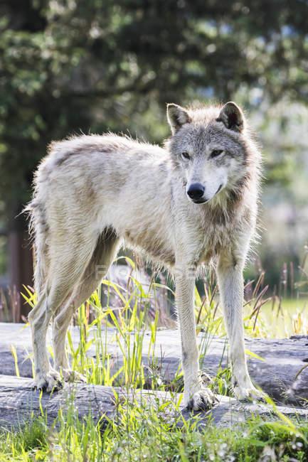 Серый волк стенды — стоковое фото
