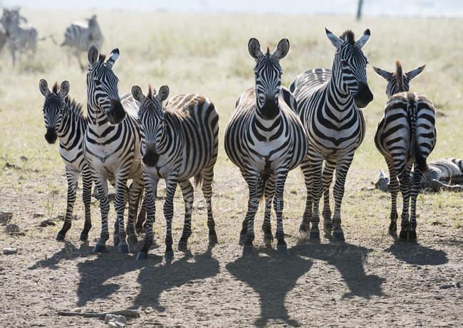 Sechs gemeinsamen Zebra — Stockfoto
