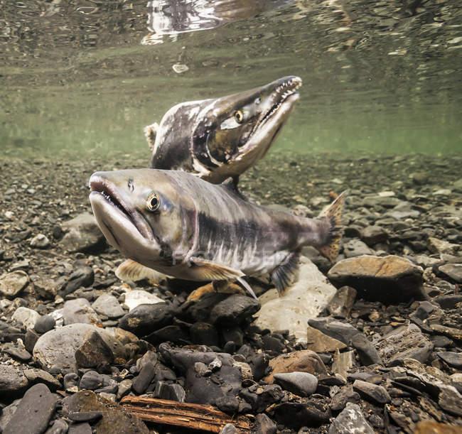 Pareja de desove de salmón rosa - foto de stock