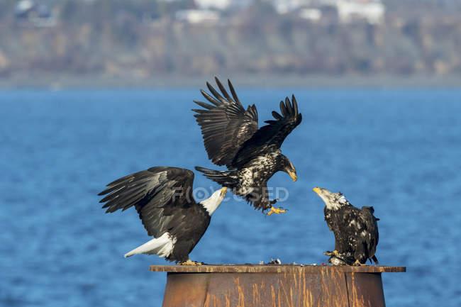 Aigles à tête blanche atterrissant — Photo de stock