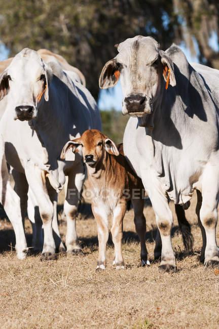 Брахман корів з теля — стокове фото