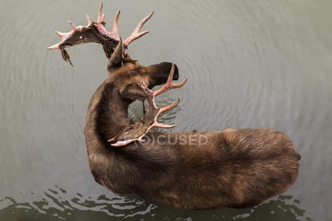 Alce toro in piedi in acqua — Foto stock