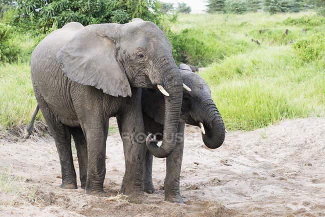 Elefanti ottenere acqua — Foto stock