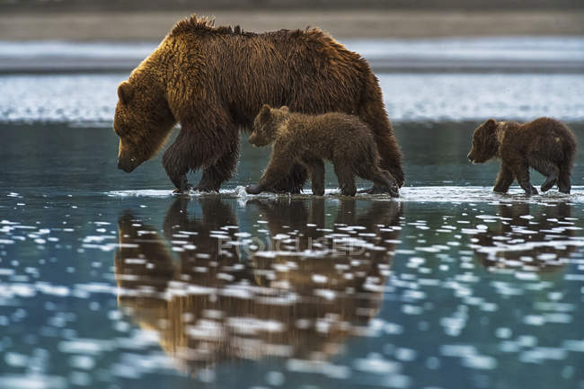 Бурий ведмідь ходить у воді — стокове фото