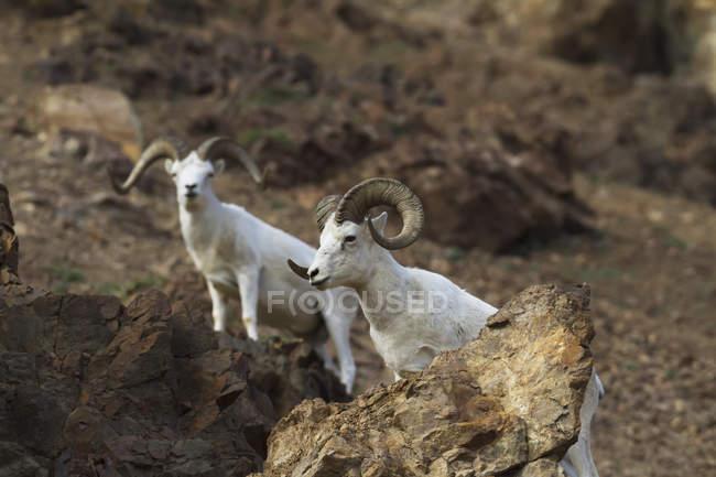 Пара Dall овець — стокове фото
