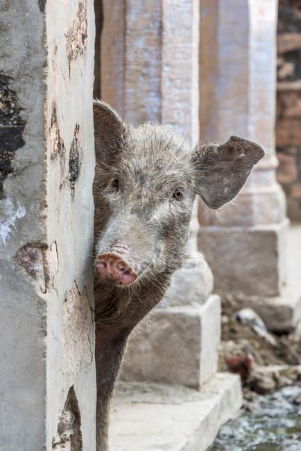 Capolino da dietro la parete del maiale — Foto stock