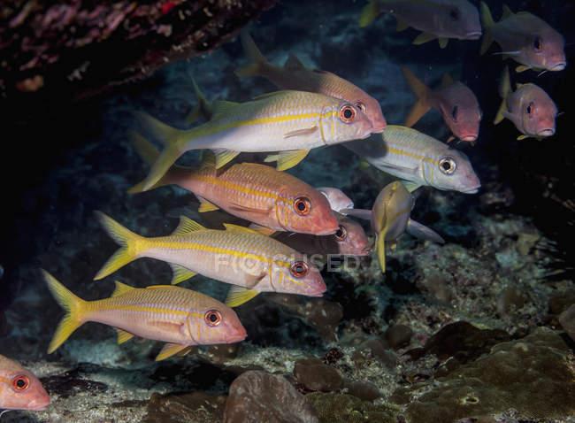 Schöne Gelbflossenziegenfische schwimmen unter Wasser, Tierwelt — Stockfoto