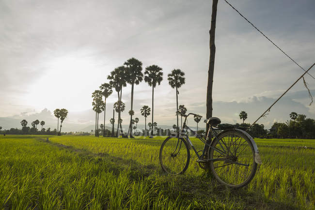 Rice fields and palm trees — Stock Photo