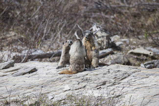 Family of marmots  playing together — Stock Photo