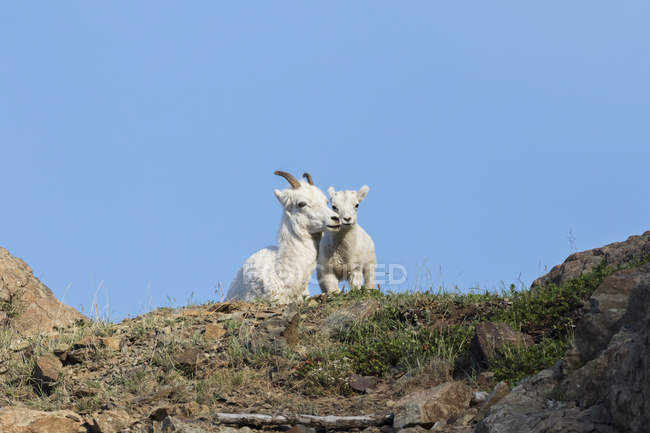 Овец Dall эве — стоковое фото