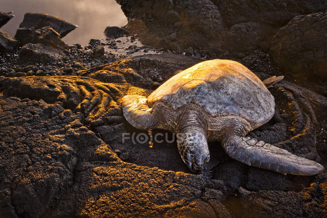 Зелена черепаха — стокове фото