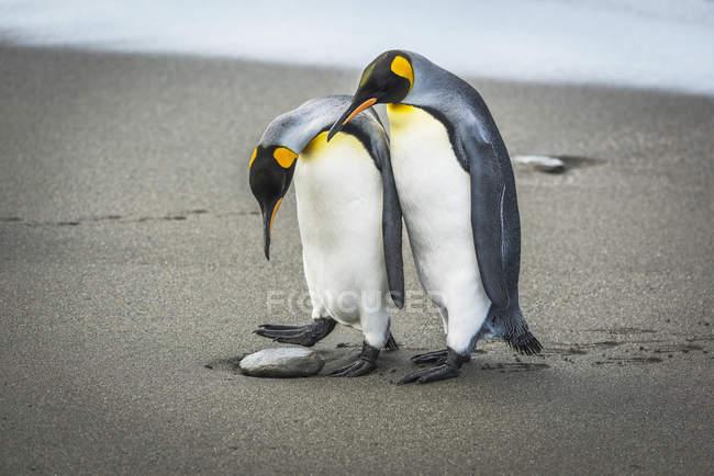 Pingüino rey mira hacia abajo — Stock Photo