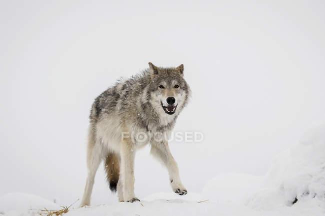 Взрослых женщин Тундровый волк — стоковое фото