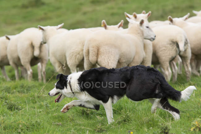 Border Collie Schäferhund — Stockfoto